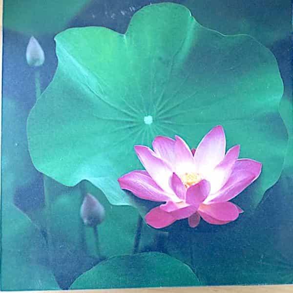 Tableau Lotus Et Bouton Sur Feuille Encadré